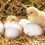 Два птенца в гнезде