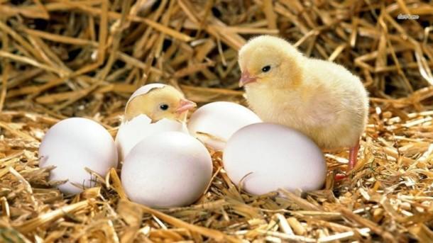 сколько по времени курица высиживает яйца до цыпленка