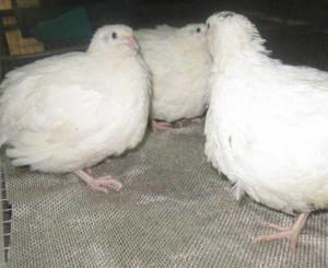 Три откормленных белых бройлера