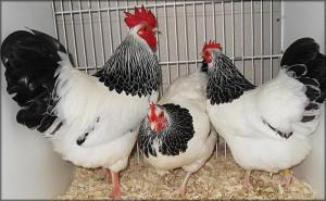Три курицы типа Суссекс