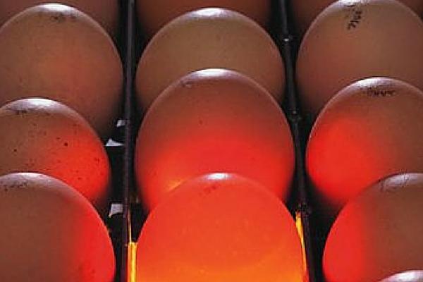 Цесарка дает высококачественный яичный продукт
