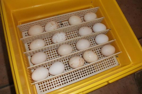 Яичная продукция в инкубаторе