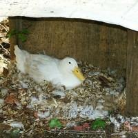 Выклевывая перья птицы могут ранить друг друга