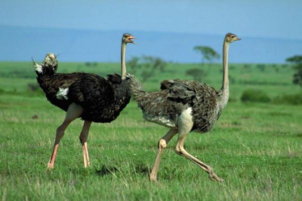 Самец и самка африканского страуса