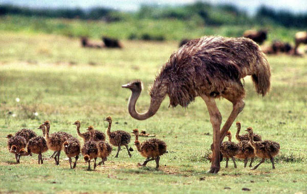 Страусиха оберегает выводок птенцов