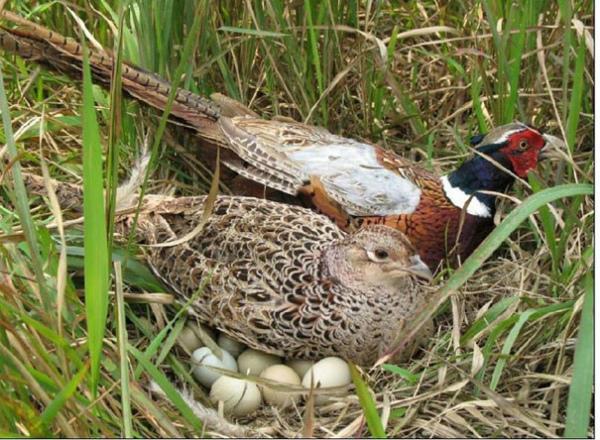 Гнездо фазанов, спрятанное в траве