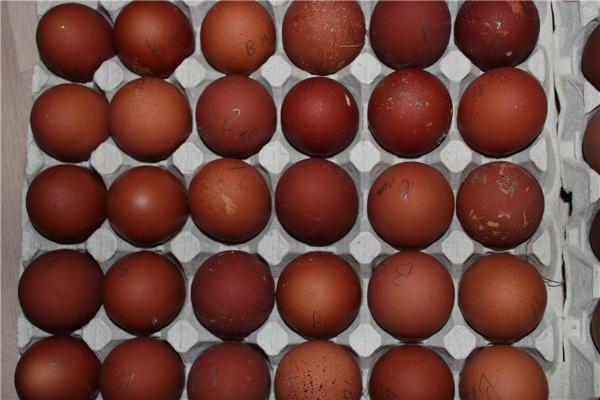 Подготовка яиц вельзумерских кур к инкубации