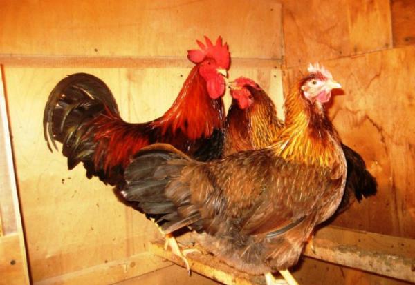 Содержание вельзумерских кур в курятнике