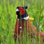 Петух фазана обыкновенного в зарослях травы
