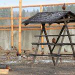 Бизнес на разведении фазанов