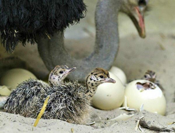 Появление на свет страусят