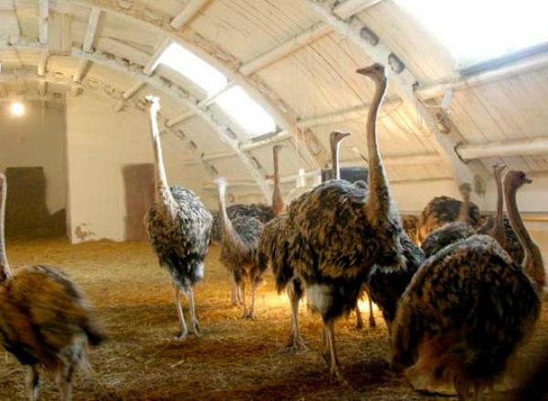 Крытый ангар для страусов