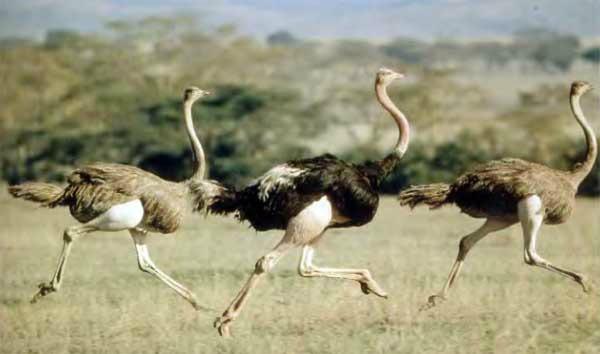 Дружный бег страусиного стада