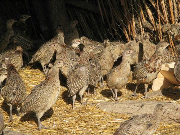 Разведение молодняка фазана