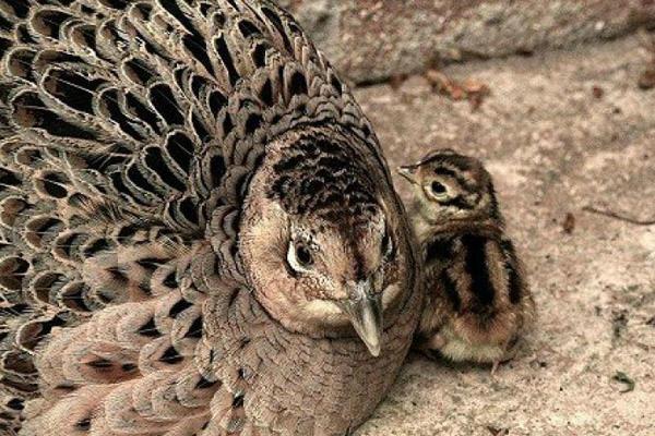 Наседка и цыпленок фазана