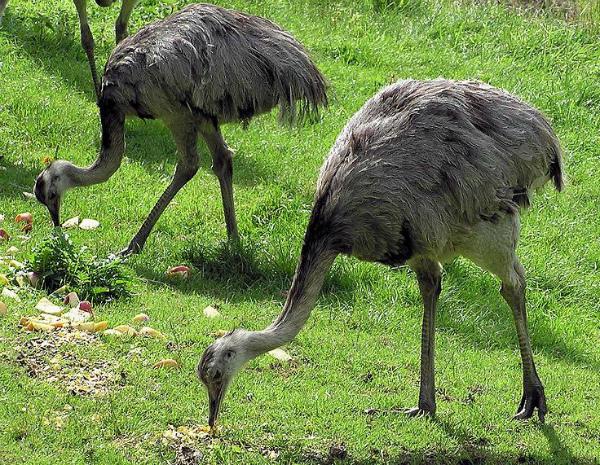 Кормление Нанду в вольере зоопарка