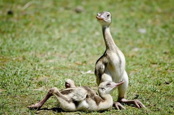 Новорожденные птенцы страуса Нанду