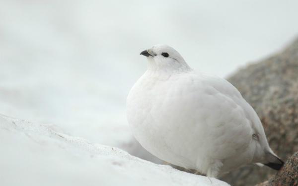 Белое оперение куропатки скрывает ее в снегу