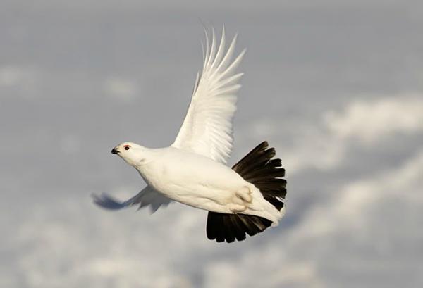 Фото белой куропатки в небе