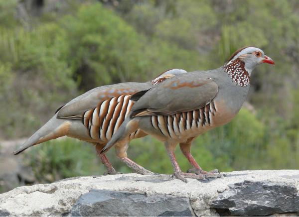 Пара берберийских каменных курочек