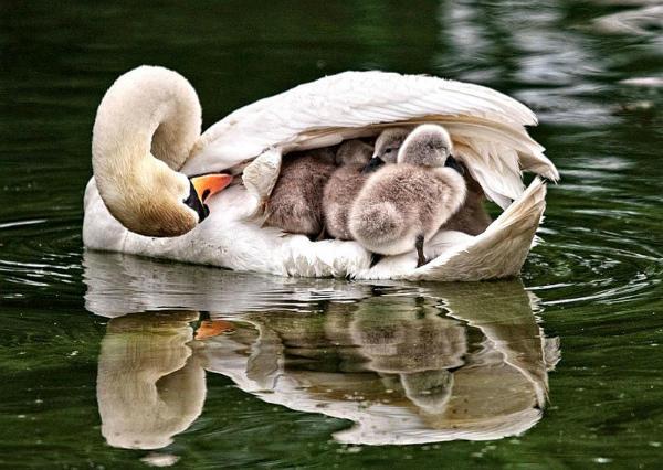 Лебедята обсыхают, используя спину матери
