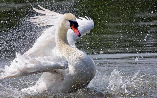 Лебедь «приземляется» на воде