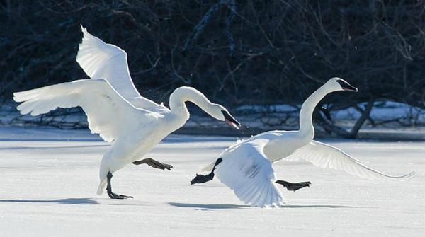 Лебедь-трубач прогоняет своего соперника