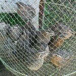 Куропатки, пойманные в сеть