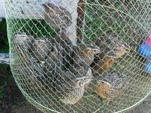 ловля куропатки сетями видео