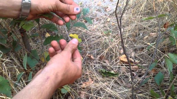 Установка петли для ловли куропатки
