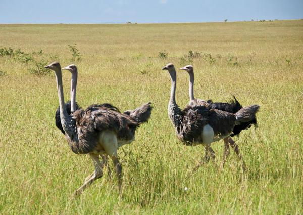 Стая страусов в естественной среде