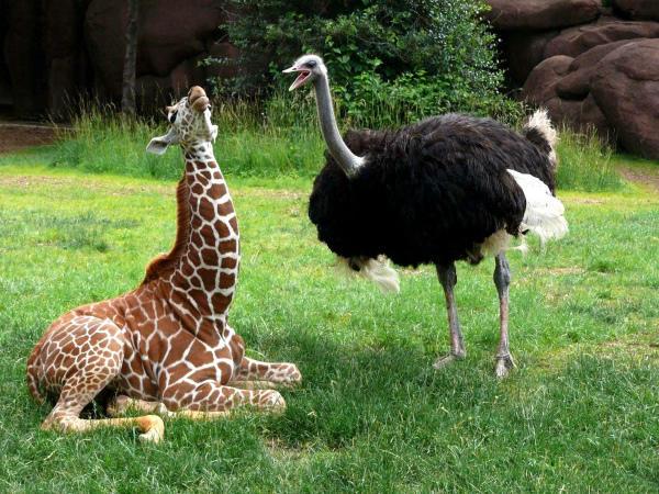 «Общение» страуса с жирафом
