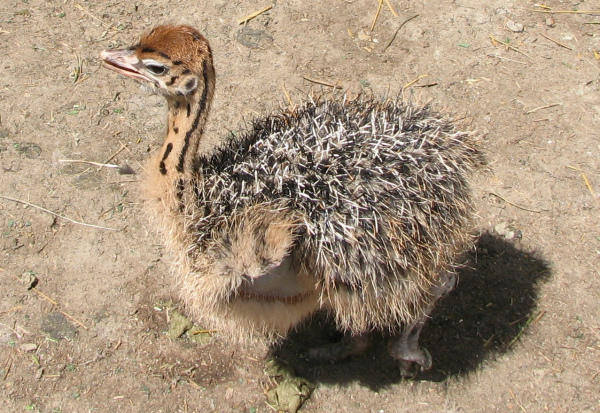 Птенец африканского страуса – фото