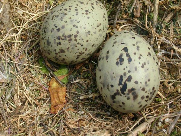Два яйца серой куропатки