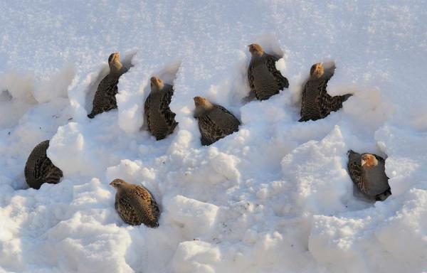 Серые куропатки прячутся в снегу