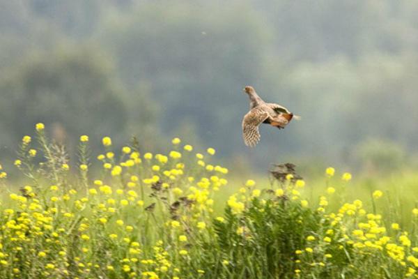 Невысокий полет серой куропатки
