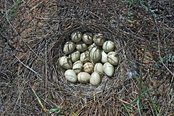 Фотография гнезда серой куропатки