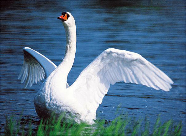 Размах крыльев лебедя-шипуна