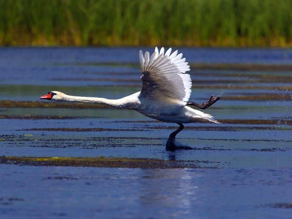 Взлетная полоса лебедя-шипуна