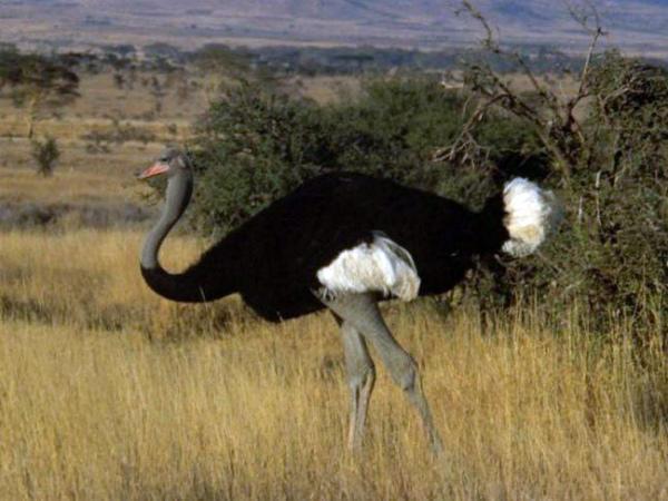 Горайо – сомалийский вид страуса