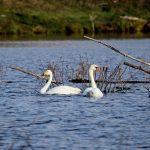 Два лебедя - шипун и кликун