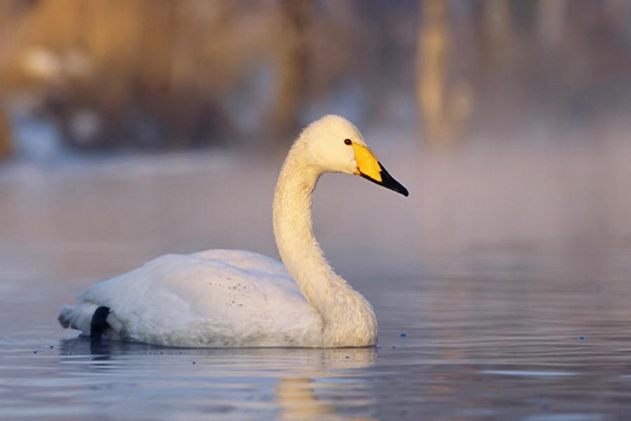 Лебедь, плавающий по воде