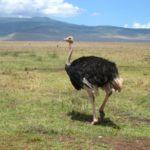 Страус африканский – это нелетающая птица