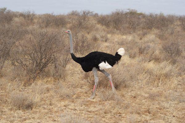 Заметив опасность, страусы спасаются бегством