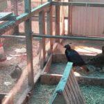 Вольер для фазанов можно сделать самостоятельно