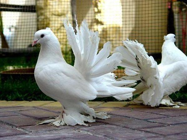 Павлиньи голуби являются исключительно вольерной птицей