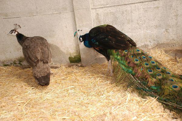 Обыкновенный синий вид павлина