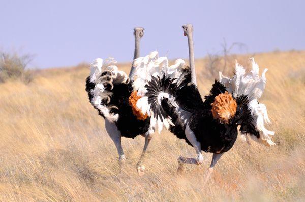 Живой вес птицы составляет порядка 150 кг