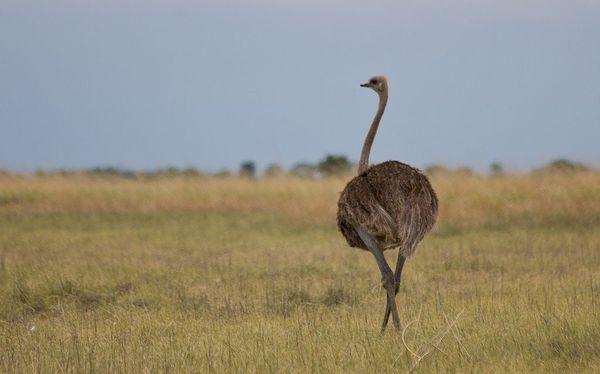 Африканский страус довольно агрессивен