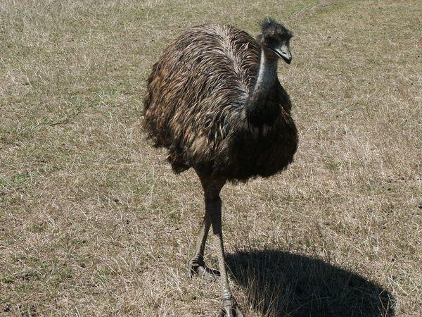 Эму в естественных условиях встречается в Тасмании и Австралии